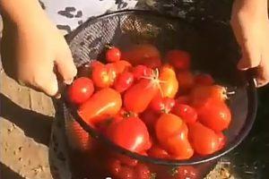manos cargando tiesto con tomates
